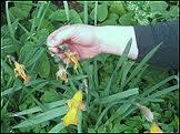 Deadhead Daffodils!
